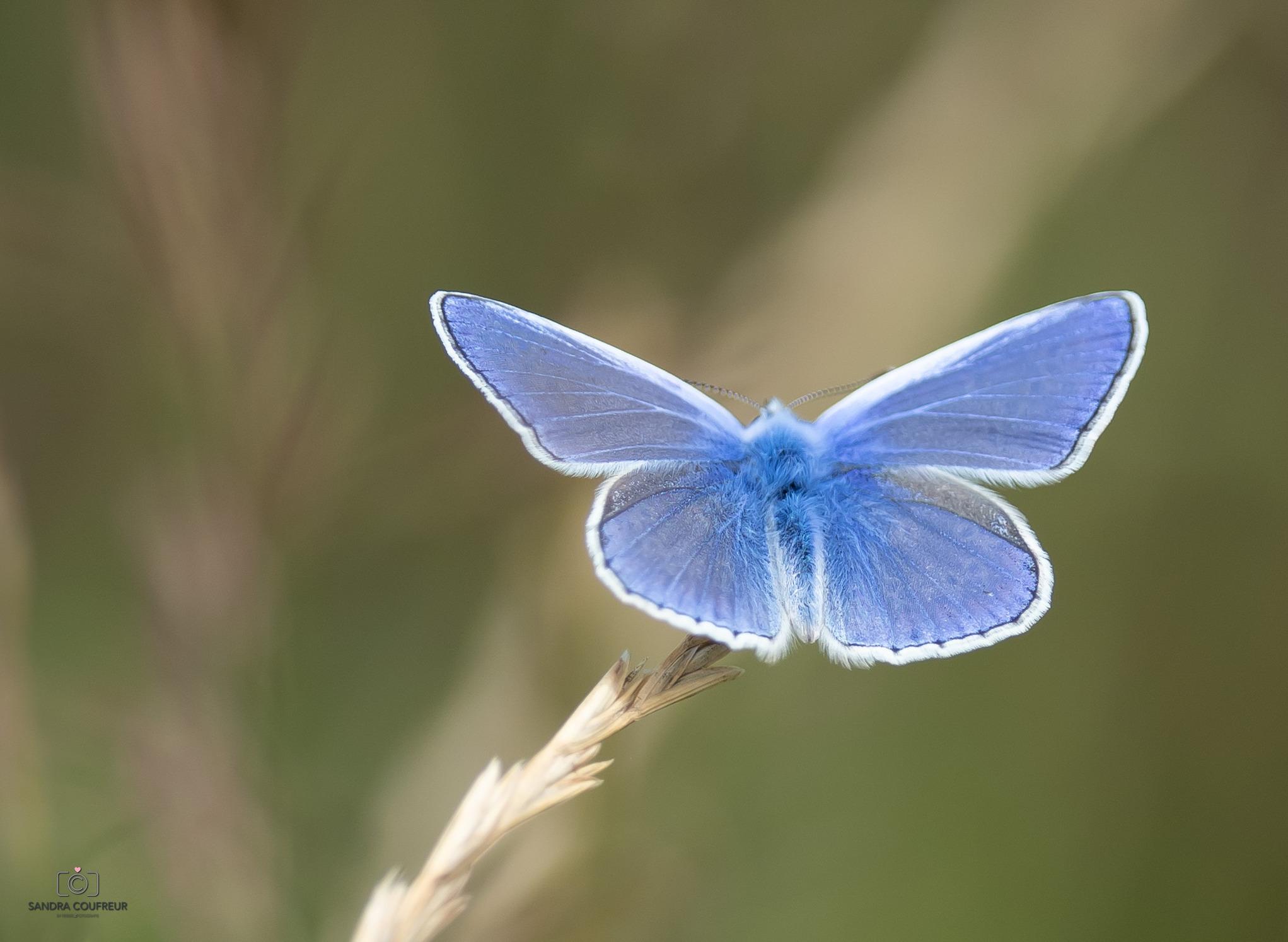 Vlinder blauw ML